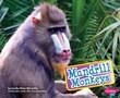 Mandrill Monkeys